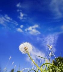 Dandelion and a clear blue sky with copy space