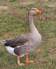 one fat greylag goose  in the animal farm