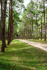 Path in coniferous forests of Thailamd
