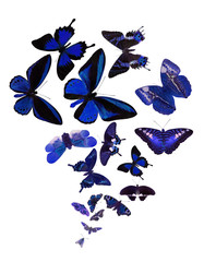large group of blue butterflies isolated on white