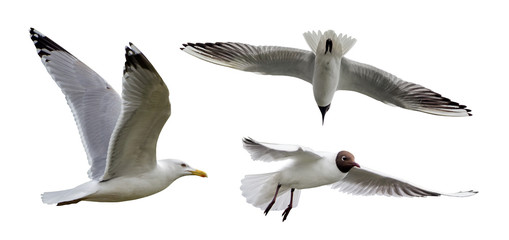 set of three isolated seagulls