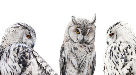 Fotoväggar - set of isolated black and white owls