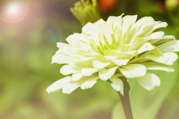 Beautiful white flowers soft focus background with rainbow