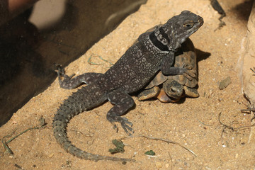 Madagascar spiny-tailed iguana (Oplurus cuvieri) and spider tort