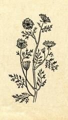 Wild carrot (Daucus carota)