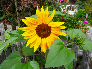 Altweibersommer - Sonnenblume im Herbst an einem Holzgartenzaun