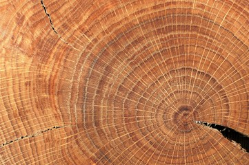 Oak split with crack and growth rings