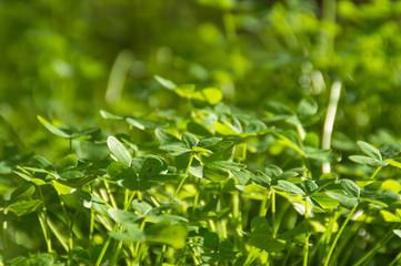 Green Shamrock clover meadow on sunlight