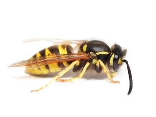 European wasp Vespula germanica, isolated on white background