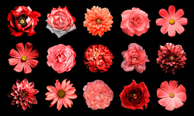 Mix collage of natural and surreal red flowers 15 in 1: dahlias, primulas, perennial aster, daisy flower, roses, peony isolated on black