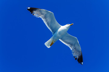 Flying Sea Gull in Blue Sky
