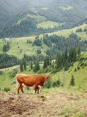 Krowa na pastwisku na wsi. Ukraina. Czarnohora