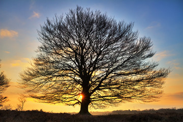 Early, cold winter morning at the Posbank in the Netherlands with a rising sun behind a big free standing tree. HDR