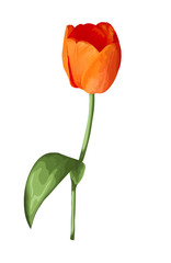 beautiful orange tulip with the effect of a watercolor drawing isolated on white background.