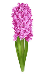 beautiful pink hyacinth isolated on white background.