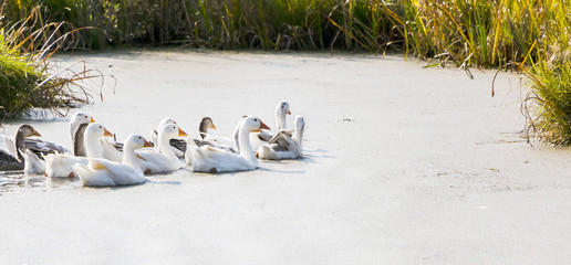 Gooses on the river