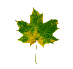 Maple leaf isolated on white background.