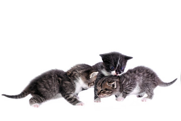 Portrait of group of young cats playing, isolated on white