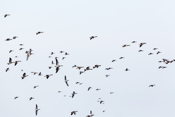 Greylag geese bird migration in the sky