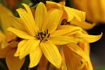 Stauden-Sonnenblume (Helianthus spec.) mit wassertropfen