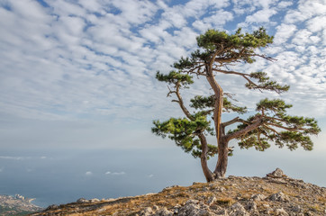 Pine alone on the mountain