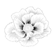 beautiful monochrome black and white Plant Paeonia arborea (Tree peony) flower isolated on white background.