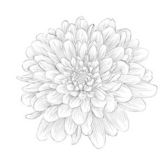 beautiful monochrome black and white dahlia flower isolated on white background.