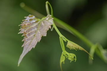 young branches of vine  on nature