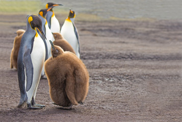 King Penguin (Aptenodytes patagonicus) feeding chick.