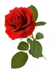 Red rose with leaves isolated on white