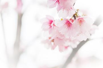 Sakura ( Cherry Blossom)