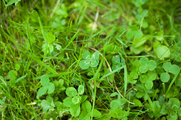 four-leaf clover in the grass