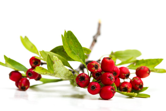Hawthorn berries isolated