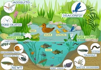 ecosystem of pond