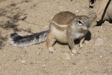 portrait of South African ground squirrel, Xerus inauris