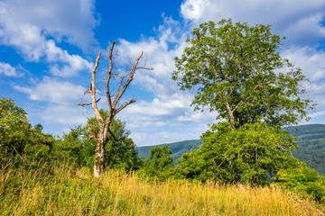 alive and dead trees on hillside on summer day