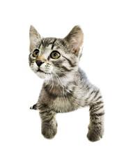 Curious kitten above white banner