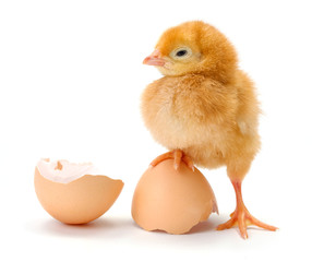 Newborn brown chicken standing on egg shells