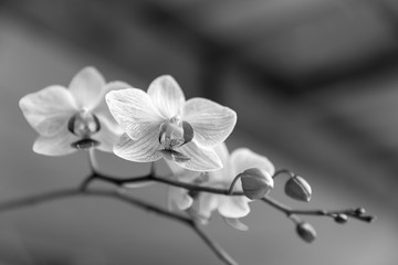 orchid, black & white