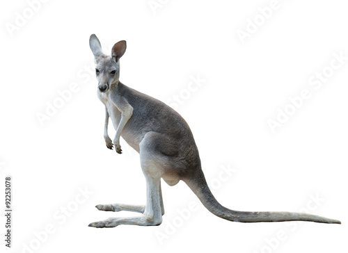 an analysis of the gray kangaroo animal species of australia