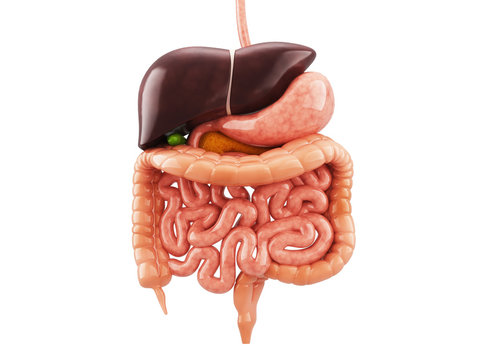 Human anatomy digestive system cutaway, including mouth. The other organs