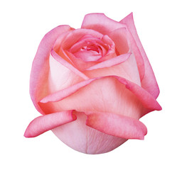 Flower rose , white isolated background with clipping path.  Closeup with no shadows. Nature. Pink, red.