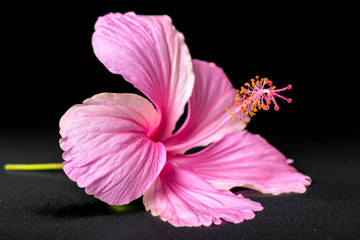 beautiful pink hibiscus flower on black background with drops, c