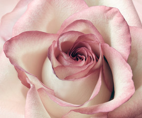 Pink and white rose background