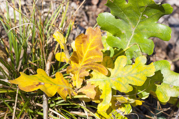 Yellowed oak autumn leaves close up