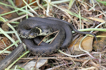 Close-up photo of a British grass snake.