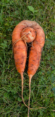 fresh harvested carrots on the ground