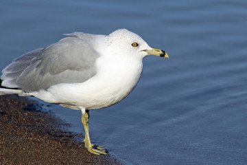 Adult gray and white Ring Billed Gull standing on the shore looking out to sea