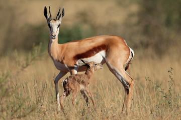 Springbok antelope (Antidorcas marsupialis) with newly born lamb, South Africa. Wall mural