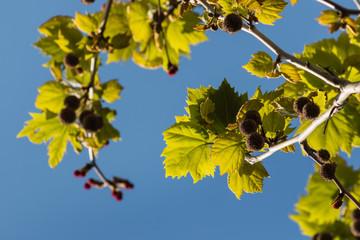 closeup of platanus tree leaves
